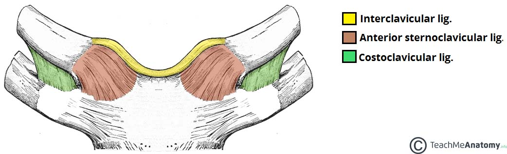 what are ligaments in sterrnoclavicular joint?