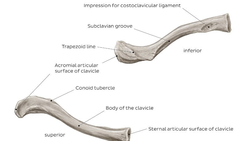 anatomy clavicle bone