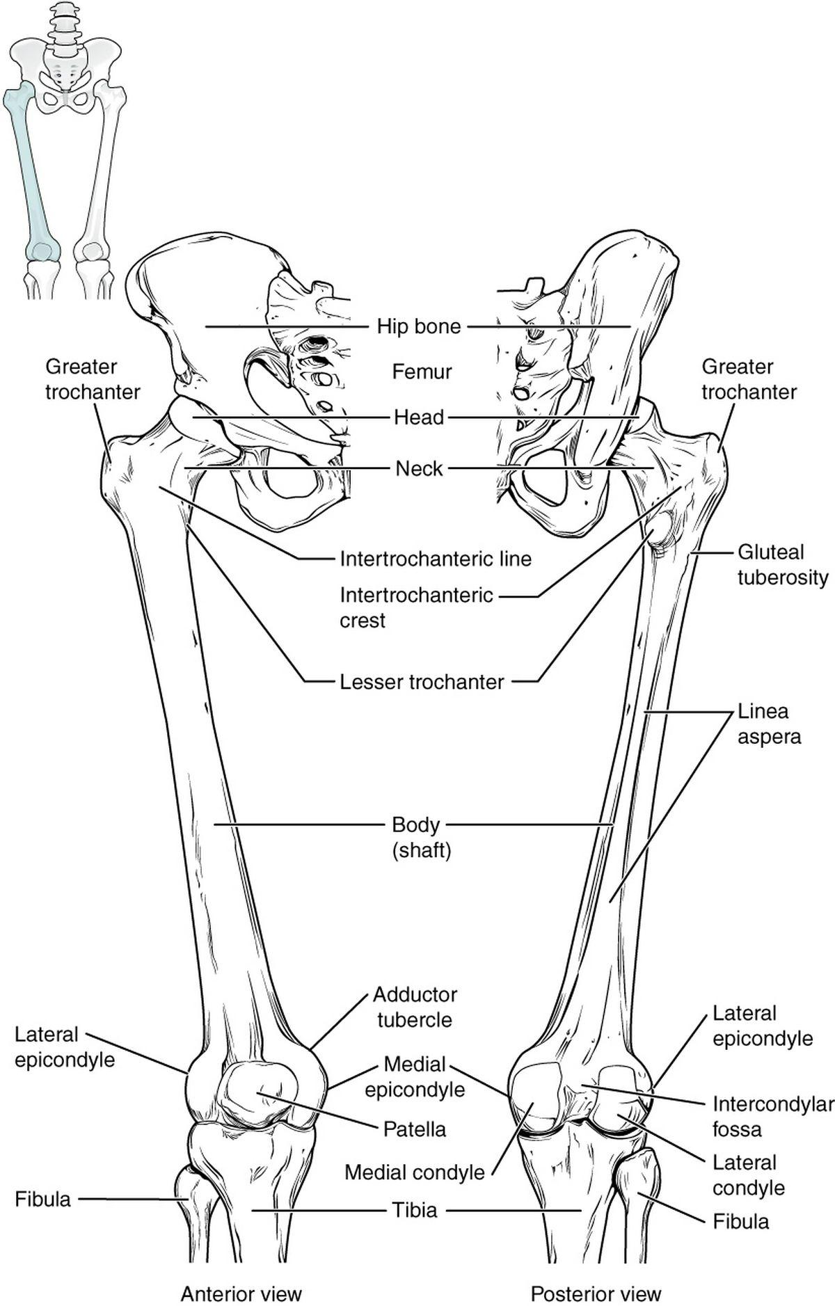 lower limb: BONES 2