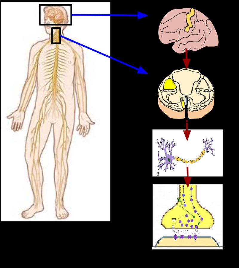 Development of the Nervous System Ch9