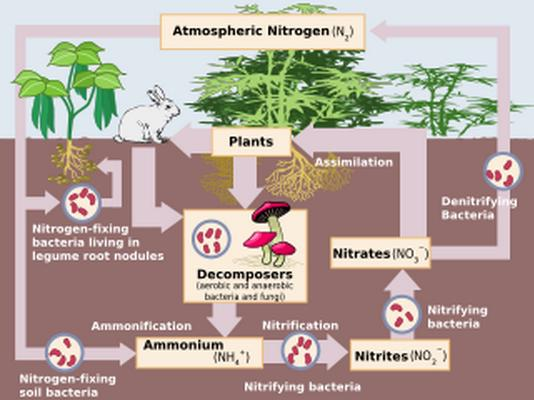 The chemical processes by which atmospheric nitrogen is assimilated into organic compounds, especially by certain microorganisms as part of the nitrogen cycle.  ni·tro·gen fix·a·tion  Related words: Nitrogen Cycle