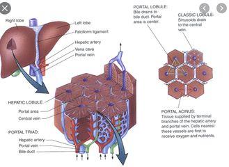- zeer groot aantal, meestal zeshoekige leverlobjes (diameter +/- 1,5 mm) - deze zijn ieder omgeven door een bindweefselkapseltje - Tussen de leverlobjes bevinden zich 'driehoekjes van Kierman' hierin bevinden zich aftakkingen van de poortader (vena portae), de leverslagader (arteria hepatica) en de galgang  - het grondpatroon van een leverlobje wordt gevormd door de ongeveer zeshoekige leverparenchymcellen, de hepatocyten - de platen zijn gescheiden door holten waar zich de sinusoïden bevinden - sinusoïden vormen een netwerk van bloedruimten en ze zijn te beschouwen als de capillaire eindvertakkingen van de arteria hepatica en de vena portae, in deze sinsuoïden kan het bloed vrij stromen